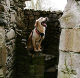 Är det en hund eller lejoninnor Royaltyfria Foton