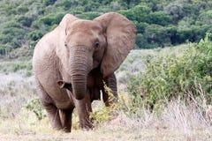 Är du ordnar till tätt upp av den afrikanska Bush elefanten Royaltyfri Fotografi