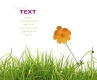 Är grönt gräs för den härliga gula blomman (kosmos) och för den nya våren Royaltyfria Foton