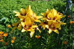 Är gula liljor för härliga blommor blommande i blomsterrabatten i trädgården Royaltyfria Foton