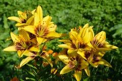 Är gula liljor för härliga blommor blommande i blomsterrabatten i trädgården Arkivfoto