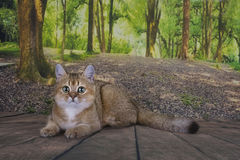 Är guld- färg för den brittiska kattchinchillan avslappnande i skogen Royaltyfria Foton