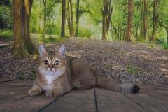 Är guld- färg för den brittiska kattchinchillan avslappnande i skogen Arkivbild