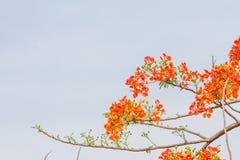 Är ljus härlig blom för Caesalpiniapulcherrimaen sommar arkivfoton