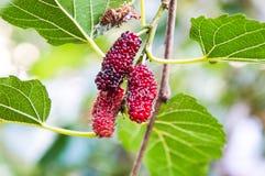 Är ny frukt för bakgrundsmullbärsträdet ett härligt ljust färgträd Royaltyfri Fotografi