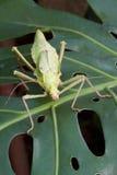 Är spökskrivare gräshoppan framifrån Royaltyfri Foto