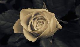 Är steg blomningen Arkivbild