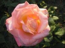 Är steg drottningen av blommor Fotoet av ett härligt steg Royaltyfria Bilder