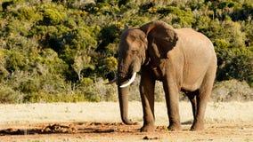 Är var mina vänner - den afrikanBush elefanten Royaltyfria Foton