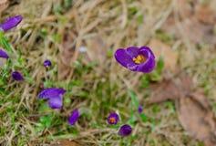 Är violett krokus för våren klar för blomning Arkivfoto