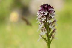 Är vit färg för den lilla orkidén blosome i thskog Royaltyfria Bilder