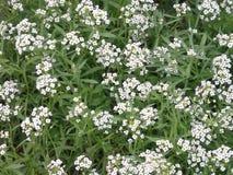 Är vita blommor för liten och nätt snö av maritimumen för Lobulariamaritimaalyssumen, den söta alyssumen eller söta alison, också Arkivfoto