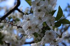 Är vita blommor för våren härliga arkivfoton