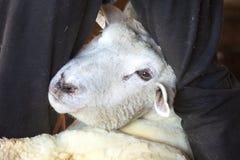 Ärevördig fårshearer som rymmer en tacka i en Connecticut ladugård royaltyfri foto