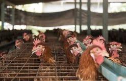 Ärgert Hühnerbauernhof lizenzfreie stockfotografie
