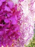 Ärke- orkidé Arkivbild