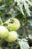 Ärr för kryptugga på den gröna tomaten på lantgård Royaltyfri Bild