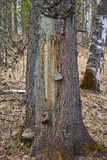 Ärr på granträd Royaltyfria Foton