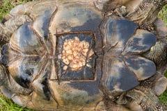 Ärr på sköldpadda efter kirurgisk borttagning av ägg royaltyfri bild