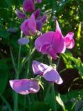 Ärta-kol blommor Royaltyfri Foto