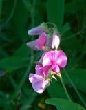 Ärta-kol blommor Arkivfoto