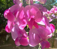 Ärta-kol blommor Fotografering för Bildbyråer