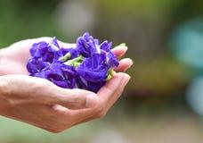 Ärtan blommar i hand Royaltyfria Bilder