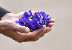 Ärtan blommar i hand Arkivbild