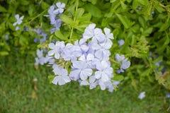 Ärtan blommar i trädgård Royaltyfri Bild