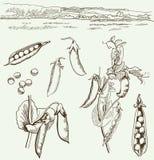 Ärtor familj av skidfrukter vektor illustrationer