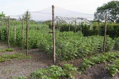 Ärtor i den organiska grönsakträdgården. Arkivfoton