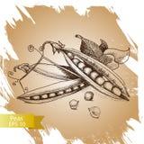 Ärtor Uppsättning av den hand drog grafiska illustrationen Organisk ny lantgårdmatillustration på vit bakgrund stock illustrationer