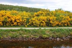 Ärttörnebuskar i blomma vid kanalen Royaltyfria Foton
