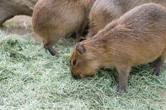 Äta Capybaras Royaltyfri Fotografi