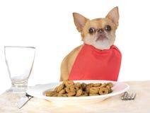 Äta chihuahuaen i studio royaltyfria bilder