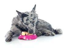 Äta den ungerska hunden arkivbilder