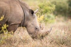 Äta den vita noshörningen med en oxpecker i Krugeren royaltyfri foto