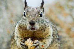 äta ekorren arkivfoto