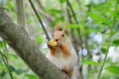 Äta ekorren på träd parkera in Royaltyfri Foto