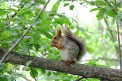 Äta ekorren på träd parkera in Royaltyfri Bild