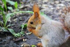 Äta ekorren på träd parkera in Arkivfoto