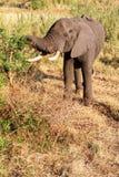 äta elefantbarn Royaltyfria Bilder
