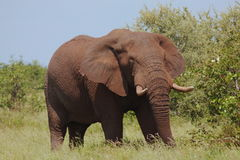 äta elefanten Arkivbild