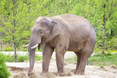 äta elefanten Royaltyfri Bild