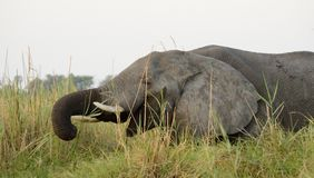 äta elefantgräs Royaltyfri Foto