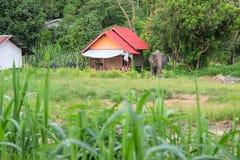 äta elefantgräs Royaltyfri Bild