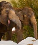 äta elefantsnow royaltyfri bild