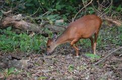 Äta för antilop royaltyfria foton