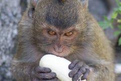 Äta för apa royaltyfri fotografi