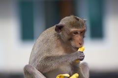 Äta för apa arkivfoto